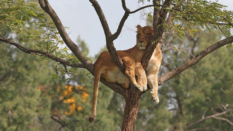 animals, lion, lioness, resting, 7d, 400mm, животные, львица Сиестаphoto preview