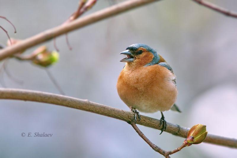 birds,common chaffinch,fringilla coelebs,зяблик,птица,птицы,фотоохота Весна время песен.2photo preview