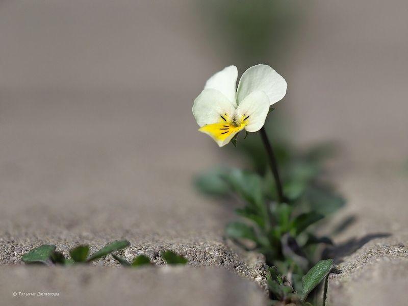 цветок, анютка, виола, макро, флора, весна Зайчикphoto preview
