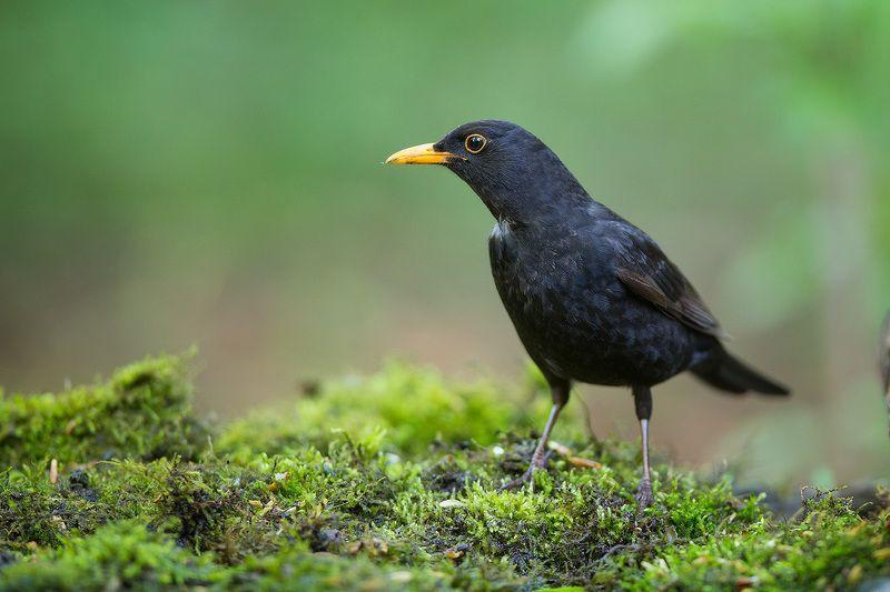 blackbird, bird, wildlife, черный дрозд, птицы, птица, дикая природа, дрозд Черный дроздphoto preview