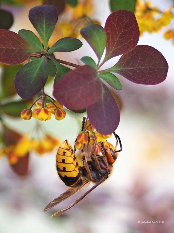 шершень обыкновенный, оса шершневая, vespa crabro, весна, насекомые, дача, барбарис, флора, фауна, московская область Шершни на барбарисеphoto preview