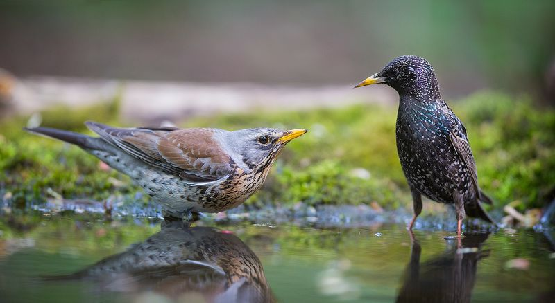 дрозд, скворец, рябинник, птицы, вода,birds, starling, fieldfare, wildlife Разговорphoto preview