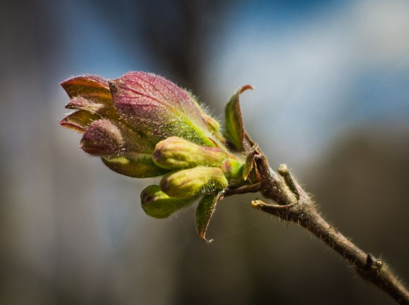 весна, листок, распускаться, зелёный, небо,красный Веснаphoto preview