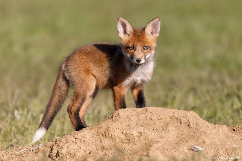 лиса, fox ***photo preview