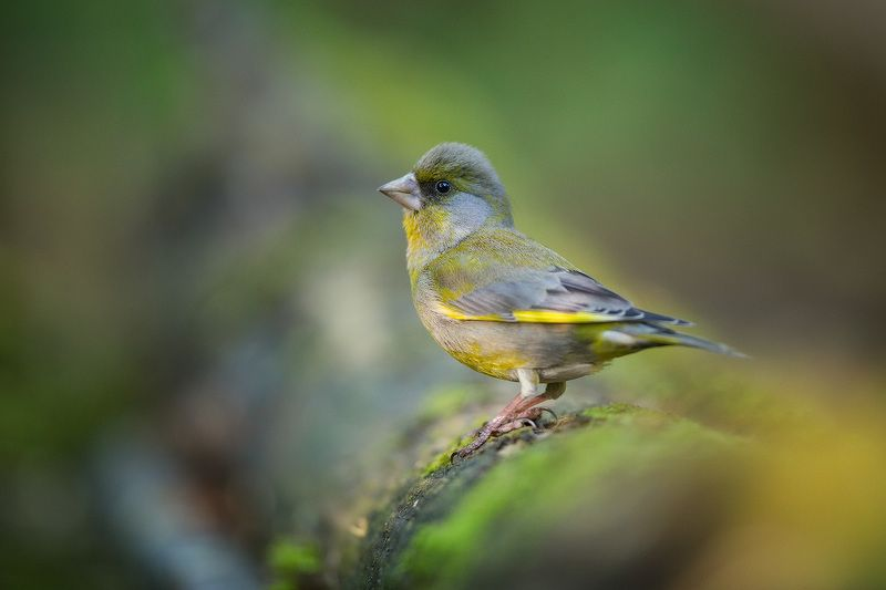 greenfinch, bird, wildlife,птицы, зеленушка, дикая природа Зеленушкаphoto preview