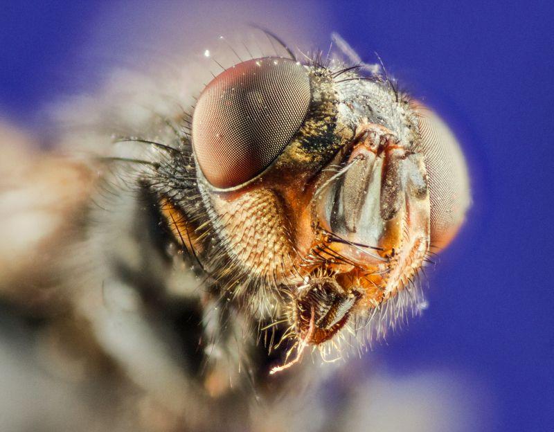голова муха макро насекомое Мухаphoto preview