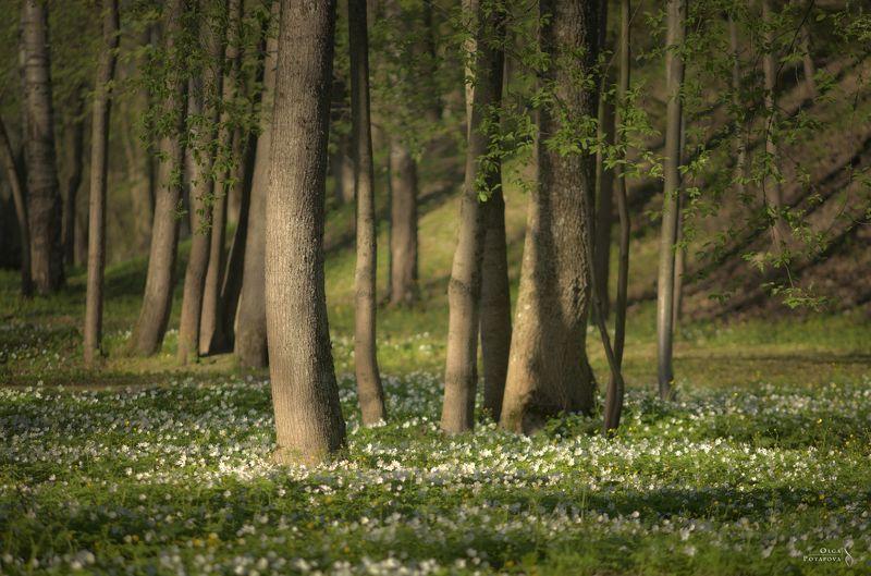 весна, цветы, цветочная полянка, ветреница, белые цветы, деревья, парк, александровский парк, пушкин, царское село Веснаphoto preview