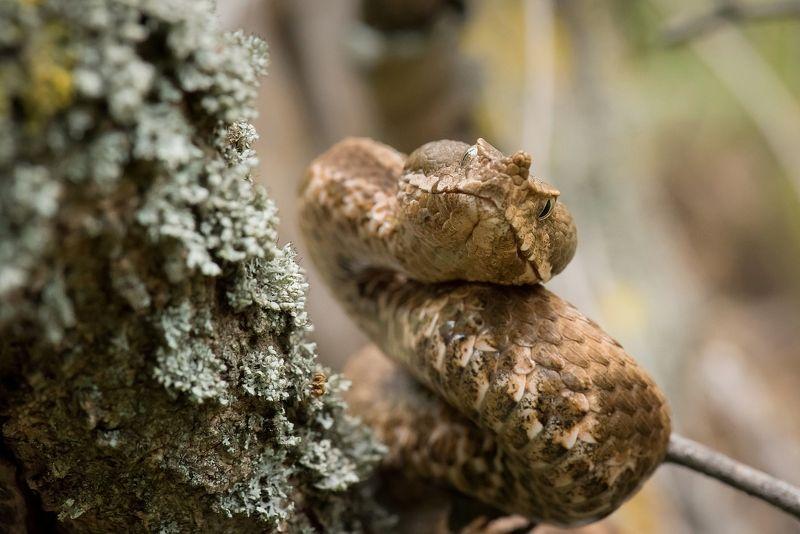 гадюка Носатая гадюка (Vipera ammodytes)photo preview