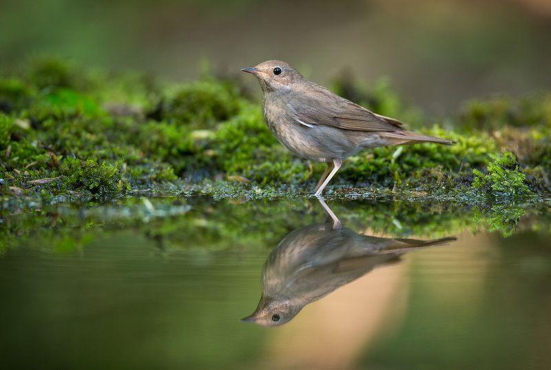 соловей, птицы, дикая природа, отражение, вода,nightingale, reflection, bird, wildlife Соловейphoto preview
