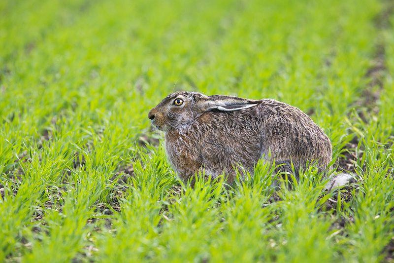 haze, wildlife, animals,заяц, дикая природа, животные Заяц-русакphoto preview