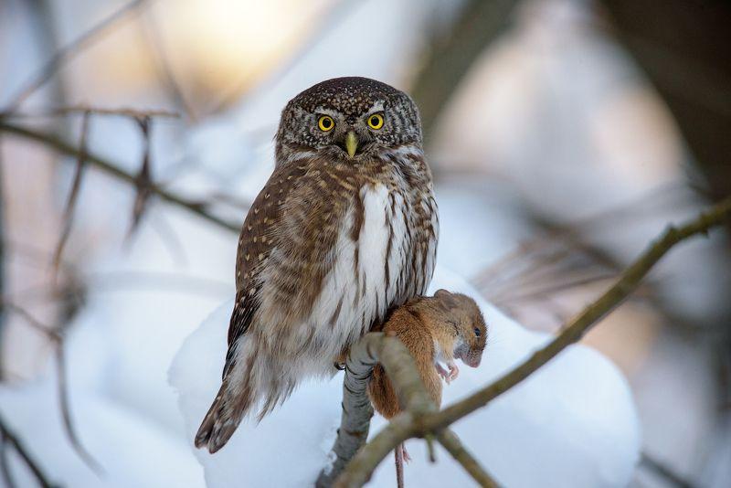 воробьиный сычик, сычик, сыч, сова, хищник, мышь, птицы, лес, bird, owl, pygmy owl, hunter, winter, mouse Охотникphoto preview