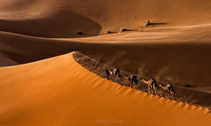 сахара, дюны, верблюды, караван, марокко Последний караванphoto preview