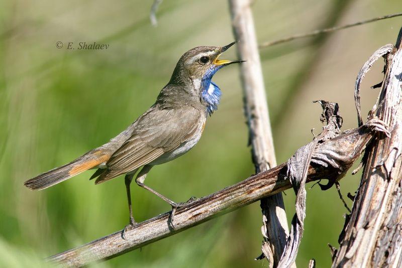 birds,bluethroat,luscinia svecica,варакушка,птица,птицы А ну выходи ,подлый трус !photo preview