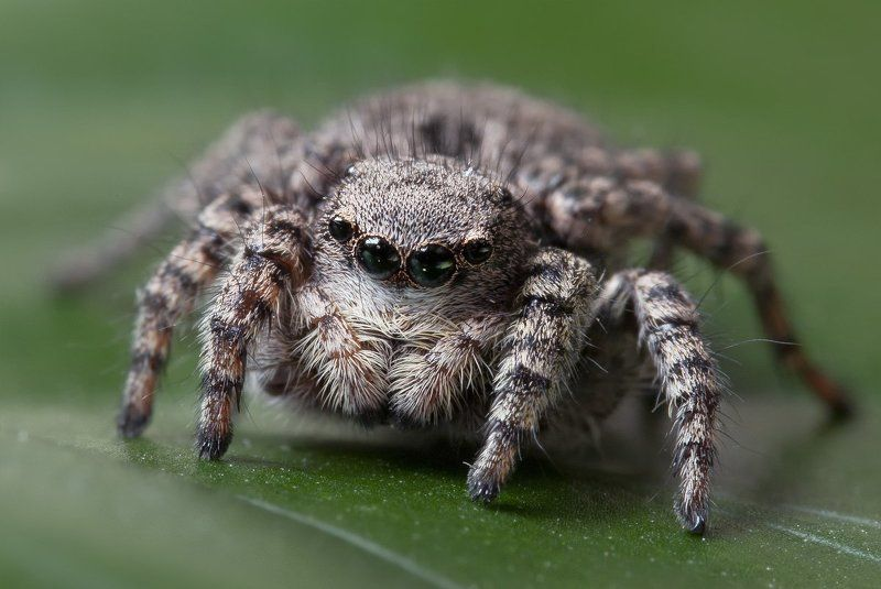 паук, макро, скакун, micro-nikkor af 105mm f/2.8 d, nikon d80 Глазастикphoto preview