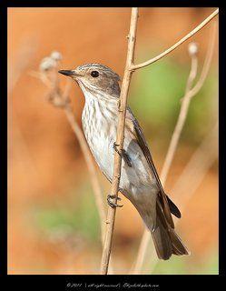 Серая мухоловка - Muscicapa striata