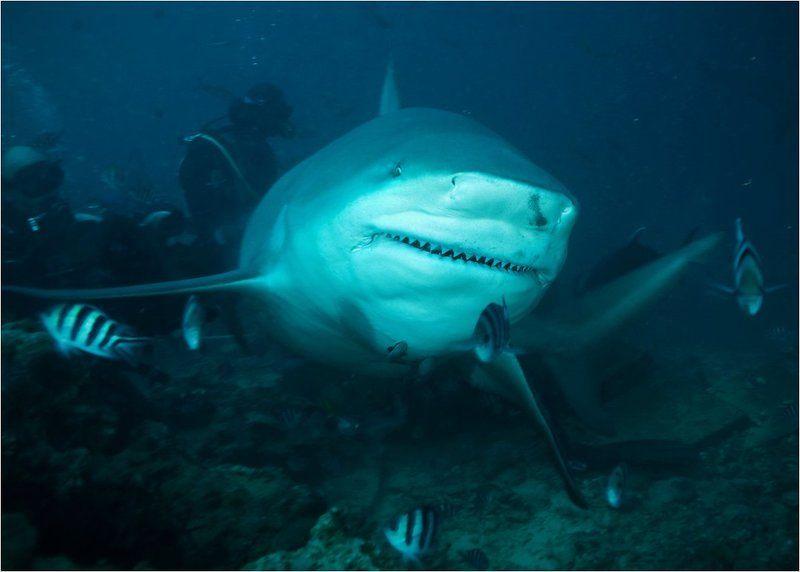 бычья, акула, фиджи Бычьи акулы острова Фиджиphoto preview