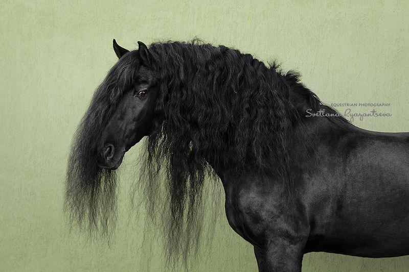 horse, лошадь, лошади, portrait Jerke van Coudenburghphoto preview