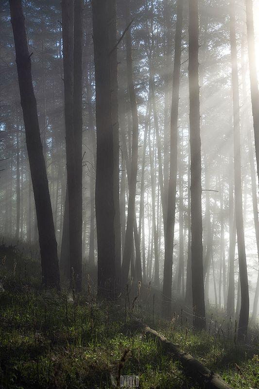 утро, туман, лес, деревья, лучи, свет, Утренний светphoto preview