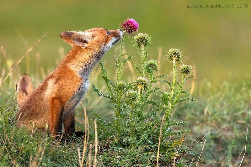 my-mriya, fox Крымские лисятаphoto preview
