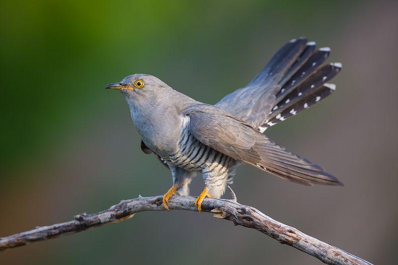 кукушка, cuckoo, bird, wildlife, птица, дикая природа Кукушкаphoto preview