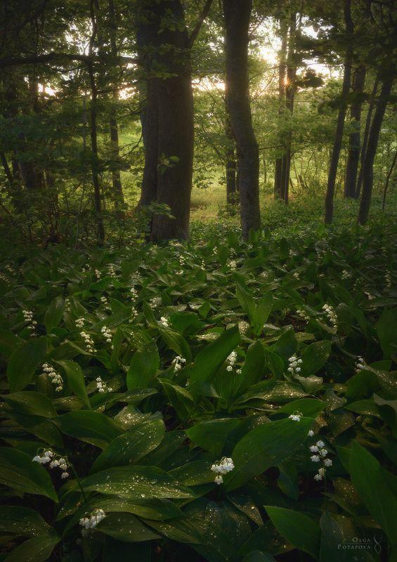 ландыши, цветы, листва, зелень, лето, весна, закат, лес, ленинградская область, роса Сокрытое в листвеphoto preview