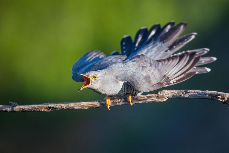 кукушка, cuckoo, bird, wildlife, птица, дикая природа Страшнее кукушки, птицы нетphoto preview