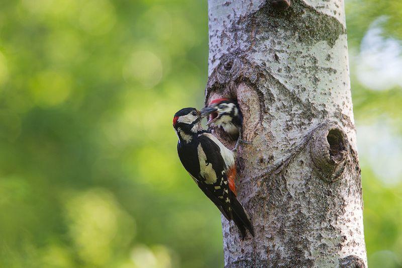 большой пестрый дятел, дятел, пестрый дятел, птицы, woodpecker, great spotted woodpecker, bird, wildlife Большой пестрый дятел у гнездаphoto preview