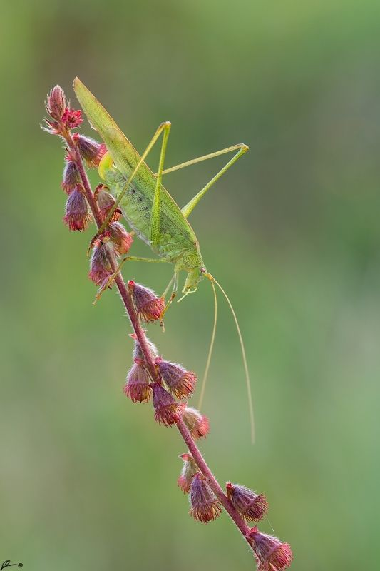 macro, makro, flowers, wild, wildlife, nature, insects Phaneroptera falcataphoto preview