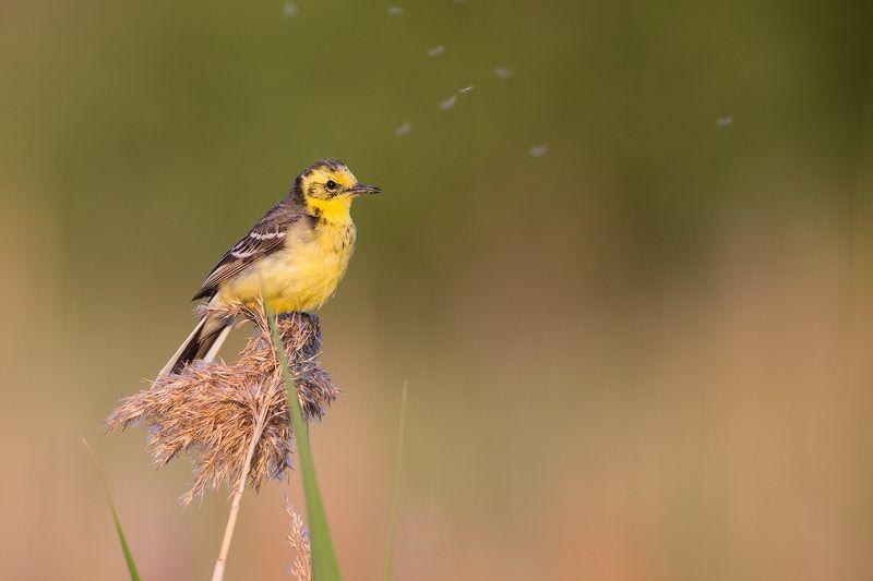 wagtail, bird, wildlife, citrine, трясогузка, желтая трясогузка, птицы, дикая природа Желтоголовая трясогузкаphoto preview