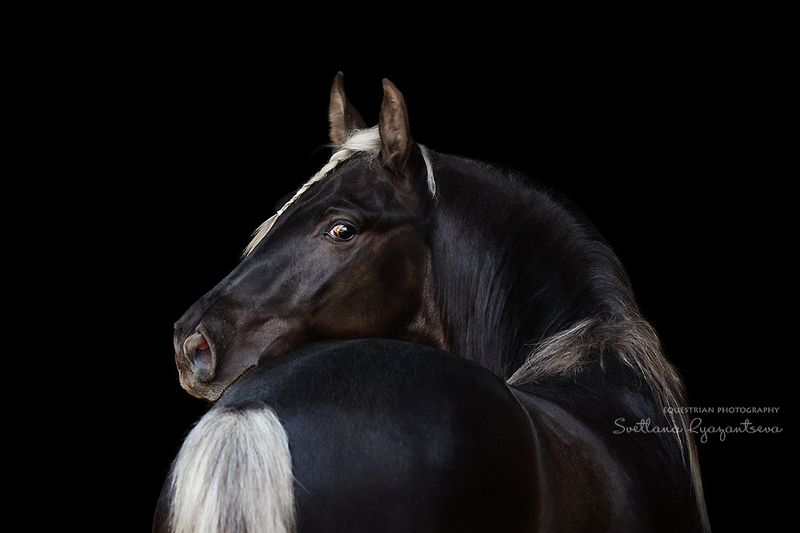 horse, лошадь, лошади, portrait Silverphoto preview