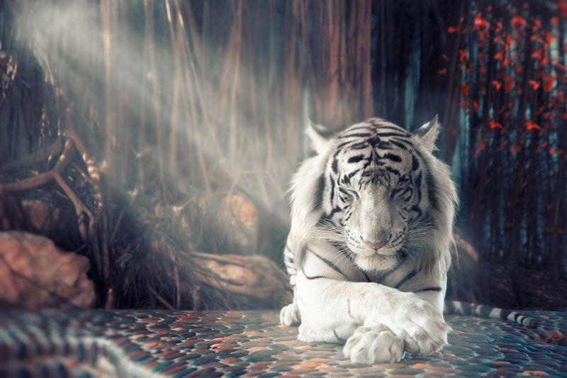 animal wild tiger tigerphoto preview