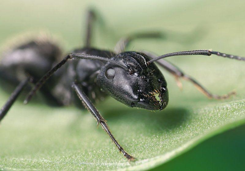 макро, муравей, портрет, micro-nikkor af 105mm f/2.8d,   nikon d80 Хищникphoto preview