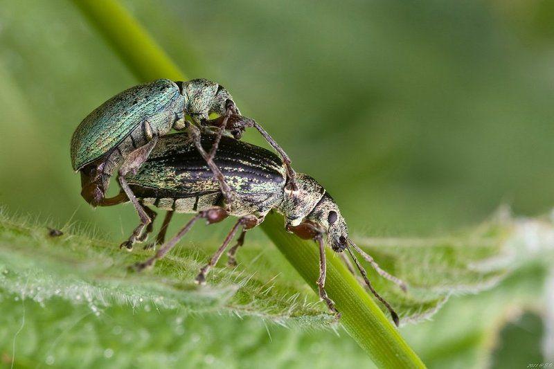 долгоносик, ruesselkaefer, curculionidae, weevil Узы любви IIphoto preview