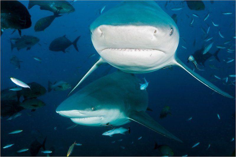 bull, shark, fiji Бычьи акулы острова Фиджи#2photo preview
