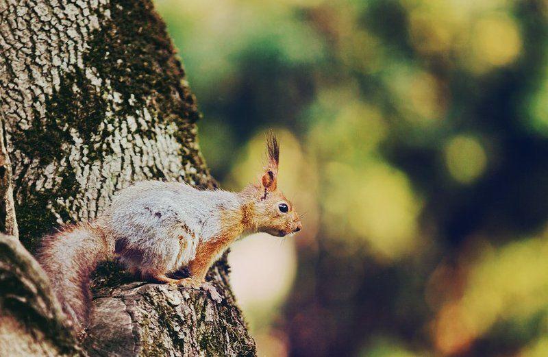 лес, белка, дерево ***photo preview