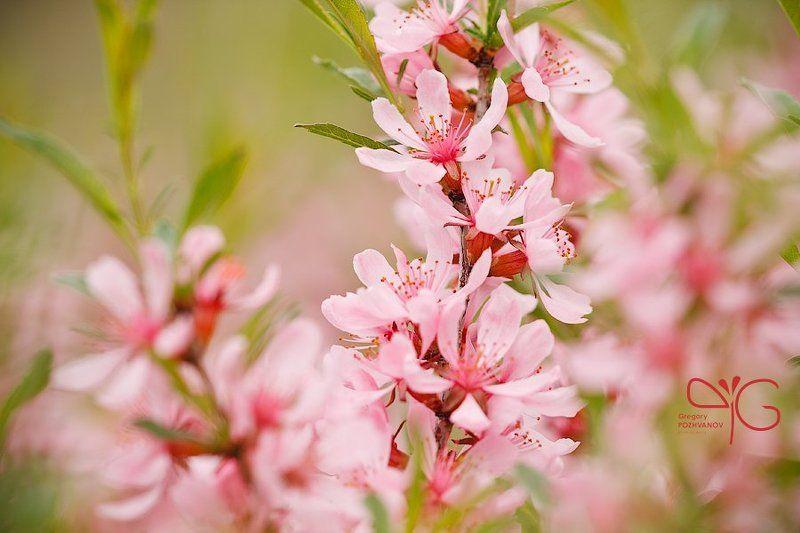 карликовый, миндаль, dwarf, almond, amygdalus, nana, белогорье, природный, парк, ровеньский, весна, цветок, флора Цветение миндаляphoto preview