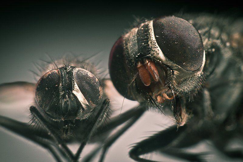 макро, муха, фото, насекомые как насчет посмотреть мне в глаза?photo preview