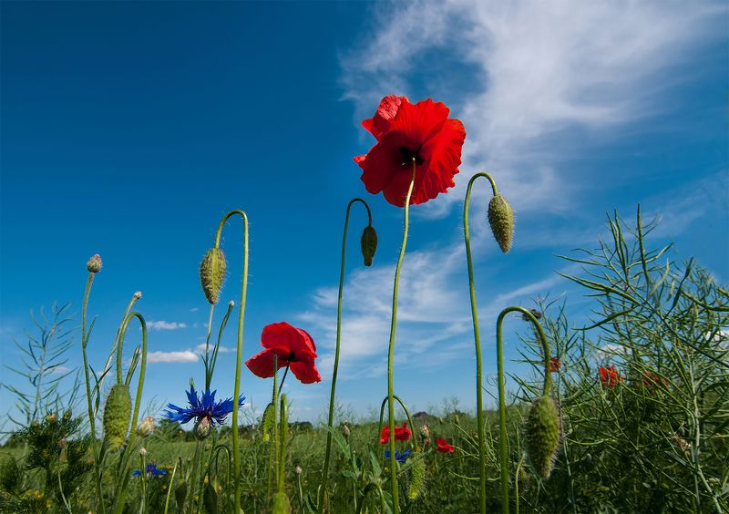 poppy,clouds,flowers,red, colors poppy blossoms...photo preview