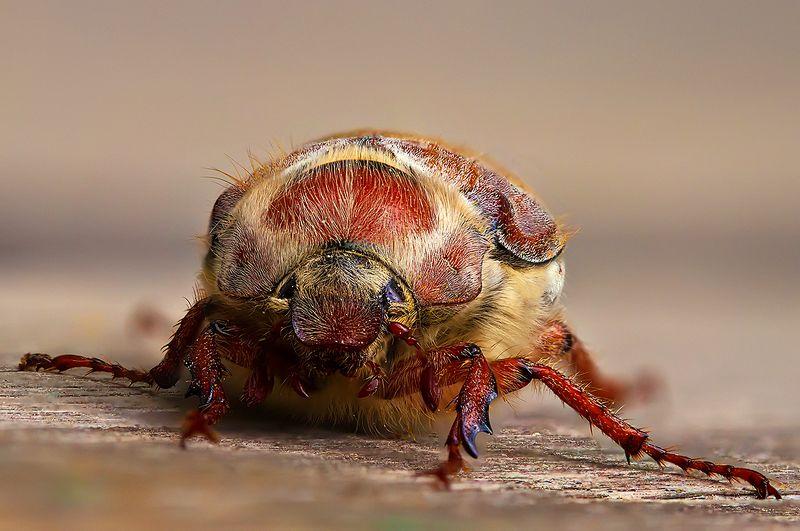 жук, насекомое, майский жук, макро, природа Майскийphoto preview