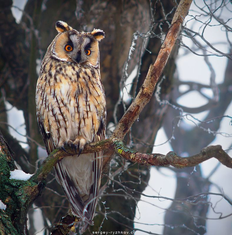 ушастая сова, сова, птицы, природа, birds, owl, wildlife, nature, animals Ушастая соваphoto preview