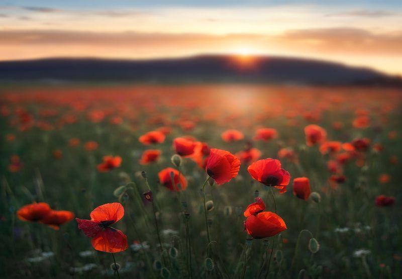 маки, poppy, sunset, закат, крым, crimea Закат на маковом полеphoto preview