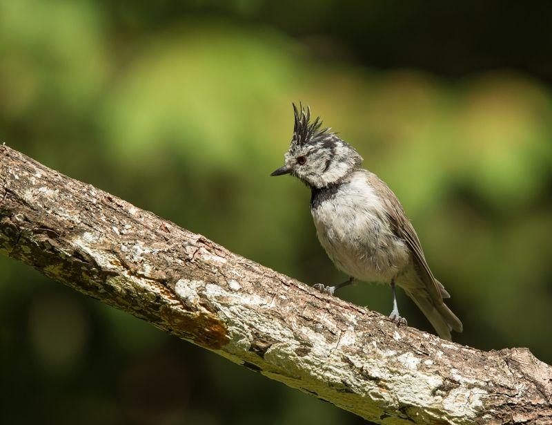 птицы, гренадерка, хохлатая синица, Хохлатаяphoto preview