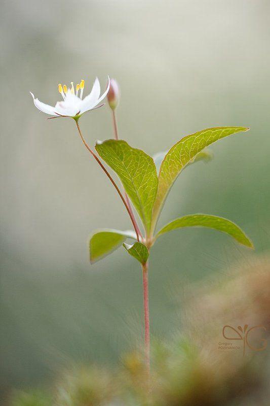 седмичник, trientalis, europaea, karelia, flower, flora, lehmalahti, white, белый, цветок, карелия, лехмалахти, флора photo preview