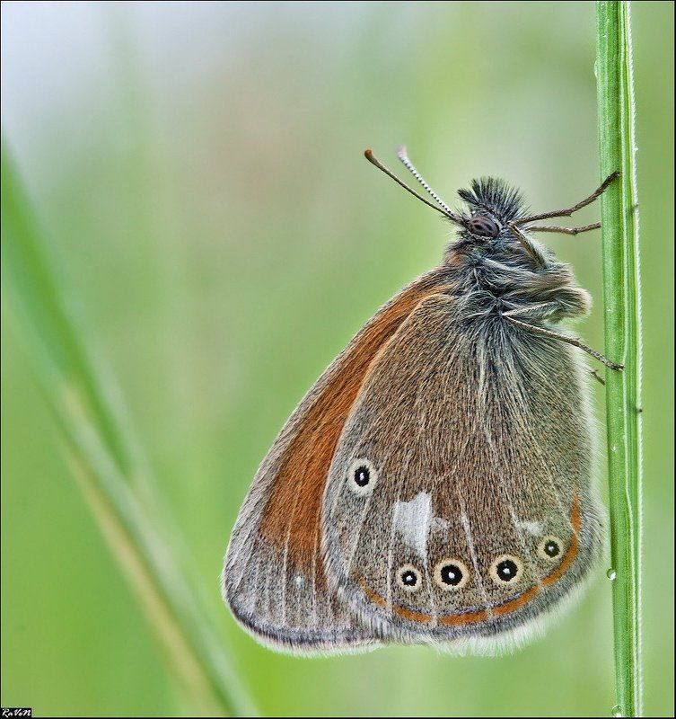природа, бабочка, макро photo preview
