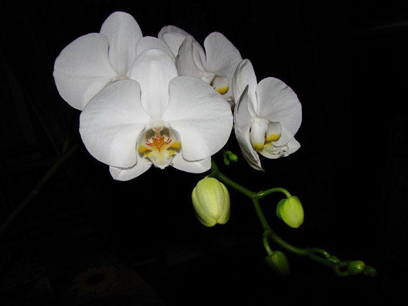 красота, цветение, орхидея photo preview