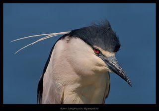 Кваква - Black - crowned Night Heron