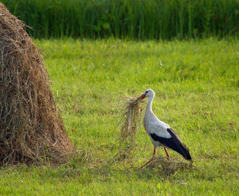 птицы, птица, аист заготовитель :)photo preview