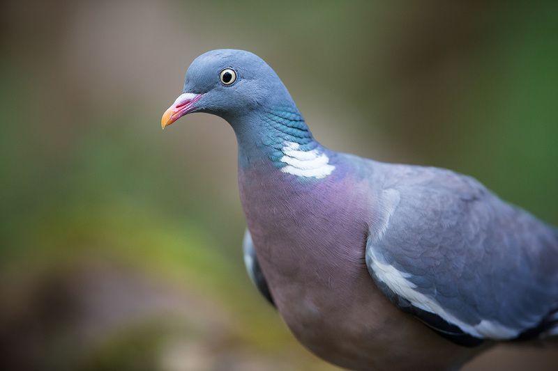 pigeon, wood pigeon, bird, wildlife, вяхирь, голубь, портрет, птицы Лесной голубьphoto preview