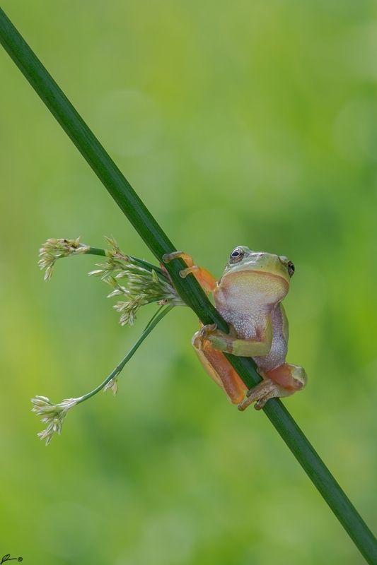 macro, makro, frog, wild, wildlife, nature, Hyla arboreaphoto preview