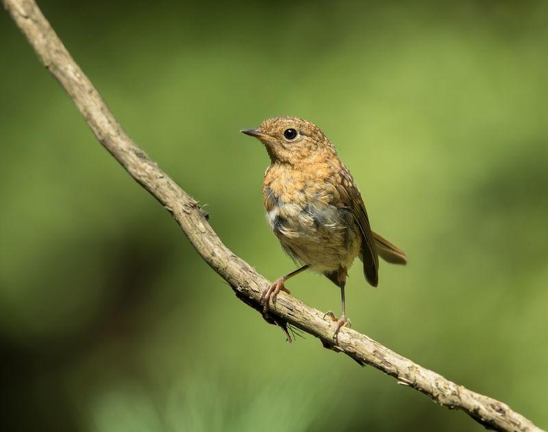 птицы,зарянка, малиновка, Любопытныйphoto preview